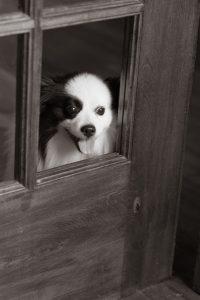 American-Eskimo/Pomeranian mixSophie © Alice G Patterson Photography