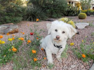 My dog Phoebe amidst Spring wildflowers in the Arizona desert.Desert Wildflowers