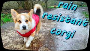 Corgi Leo. I'm wagging in the rain! WATCH on YouTube https://youtu.be/RbJZyEJSdPo 01