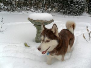 My dog Isis frolicking in snow nearly up to her belly!Isis is Missing Snow on a Hot Summer Day
