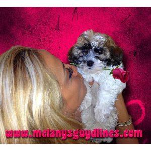 Havanese change color!!#TBT puppy Teddy Brewski