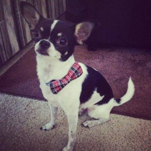 Bow tie from Tino's Dog Couture.Looking fancy!