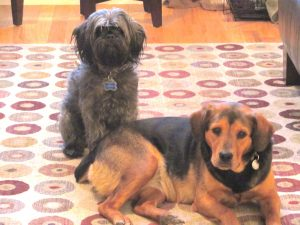 Our 2nd fostering experience was with Padme. He growled at her once and she refused to make eye cont