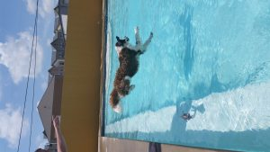 Ossian jumping into the pool at Uptown HoundsAir Born