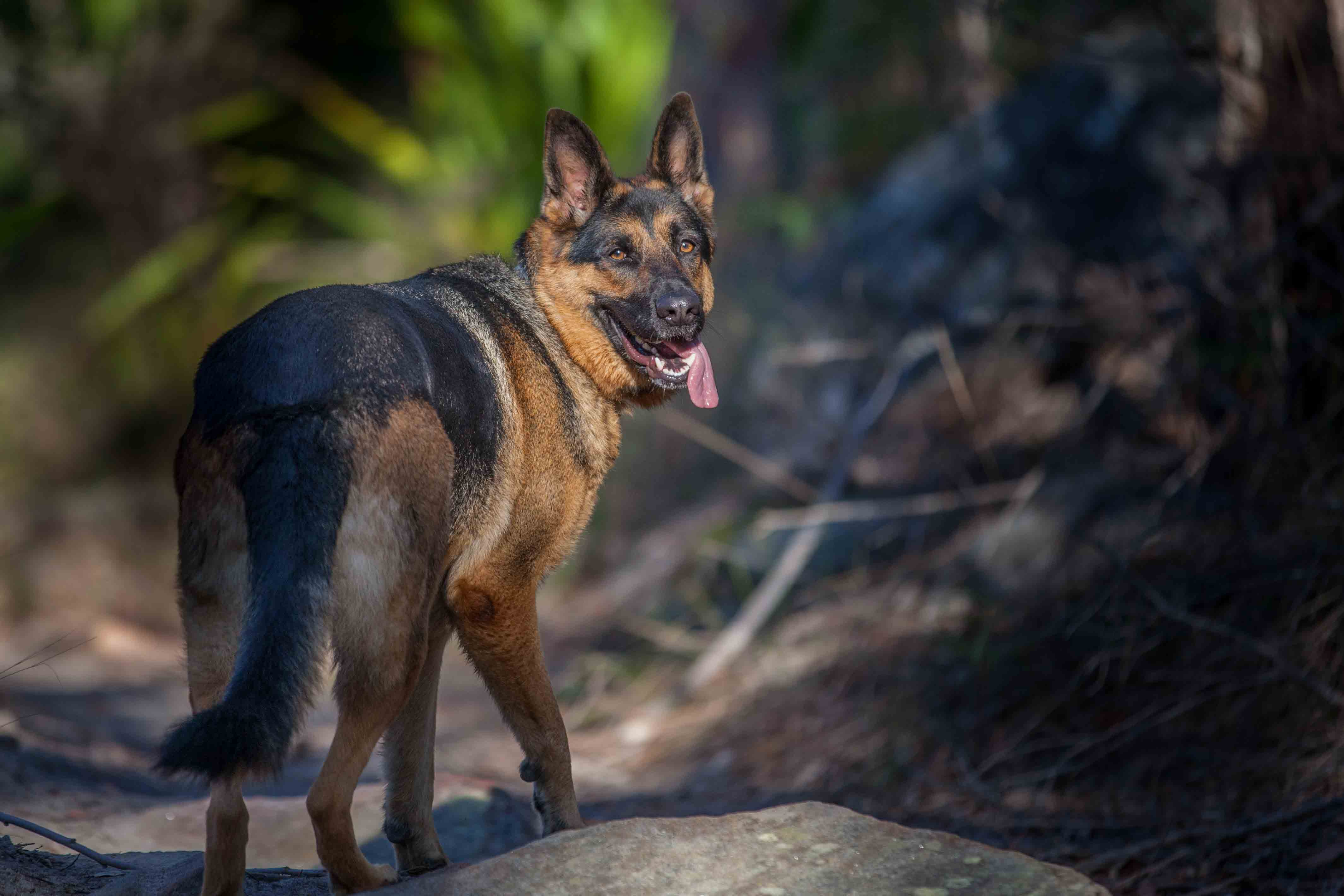 This is Bess, my four year old GSD. 20140722-232845-img_5942-370120140723-094631-img_605020140723-09