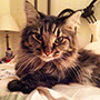 He's 11 years young and still quite the character!Tikey the Maine Coon rescue cat