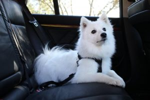 One of our customers sent us this photo of their American Eskimo wearing the dog car harness they pu