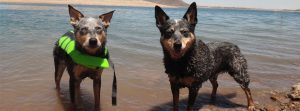 Bella and Kronos-Blue Heelers-love to swimBella and Kronos