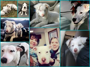 Deaf Dogs Rock sponsored over 100 deaf dogs into partner rescues in 2016. Up 30% from 2015! Benji21