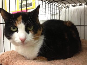 This beautiful Calico girl is CADBURY! (Yeah, not sure where that name came from!). She is 5-6 yrs.