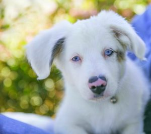 Beautiful 12 week old deaf Casper is available for adoption in Acton CA. Read his adoption listing h