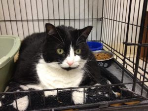 This B&W beauty is CHEVRON! She is another poor baby who was surrendered by her previous owner a