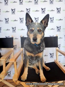 Bella the Blue Heeler trying out the fancy chair at BlogPawsBella