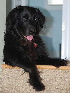 Devon is a Newfoundland, Black Labrador, Yellow Retriever Mix aged 11 years. He's about 100lbs