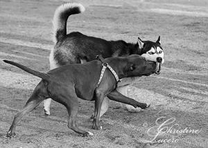 Pit & Husky having a great time!Dogpark2
