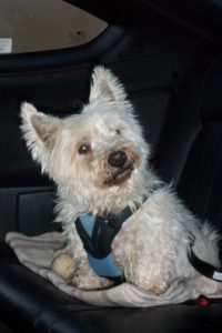 This is from a customer's dog named Dougie. He is wearing a Bergan dog car harness from Pet Au