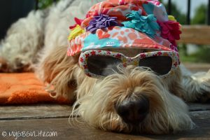How I survive the dog days of summer.GBGV Emma in full summer mode