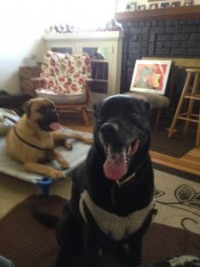 Two house guests placed with us through the DogVacay network. Wes, in the foreground, is a regular,