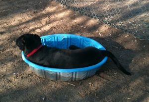 Jasper found a kiddie pool at Bark Park with bit of puddle, had to seize opportunity as we are in th