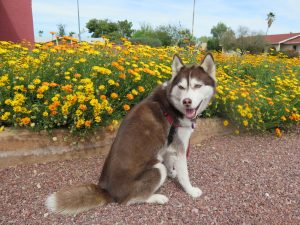 My Husky, Isis, enjoying the desert wildflowers.IMG_0242