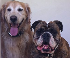 Cooper, the Victorian Bulldog, and Hunter, the Golden Retriever, posing after a nice walkCoast Drago