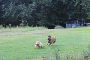 My Belgian Malinois, Elijah, chasing a GoldenDoodle puppy, Auggie, who I'm training right now.