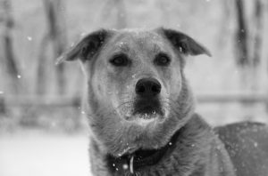 He always manages to look regal–even with snowflakes on his snout.Jasper amid the flakes