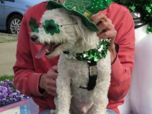 Our poodle mix Sydney does not want to be French anymore.Lick Me (he thinks he's Irish)