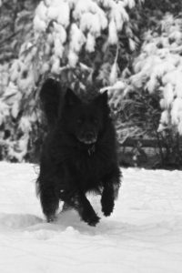 A black dog running through white snow–a photographer's challenge. Doesn't she loo