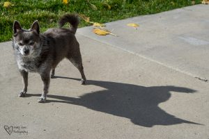 Little Dog, Big Shadow. If you know Roxy, you know this is true of her. little-dog-big-shadow