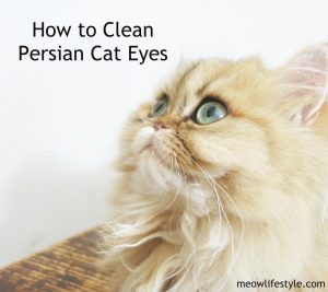 Elizabeth, golden-shaded Persian persian-cat-eyes