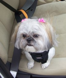Sandy the Shih Tzu dog is wearing the Tru-Fit Smart dog car harness from Kurgo. Sandy's mom bo