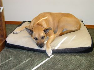 The elder of my two rescue girls spending the day with me in the office, boring but it is hot outsid