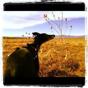 Twiggy loves our walks, especially when they are near a field of prairie dogs.Twiggy Sniffing the ai