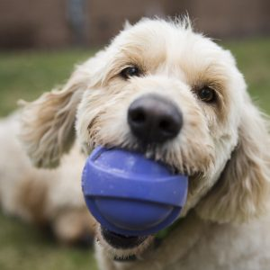 Have you seen Micah's squeaky ball? It is one of my Goldendoodle's favorite toys – that and pa