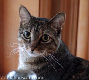 Such big owl eyes! http://www.colehauscats.com/02-21-2018-little-viola-big-eyes/ ViolaBigEyes4
