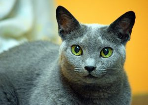 Wiggles is one of the adorable, adoptable cats at PAWS of Norwalk, CT. Isn't she beautiful? ht