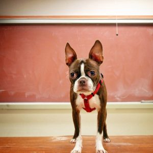 Bring your pet to work day! This is Bean in a classroom at the community college where I work!bean c