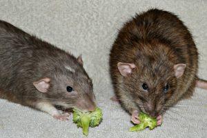Broccoli Rats