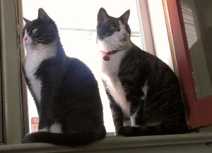 Pusspuss and Thea setting in my office window.cats in the window
