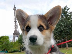 Corgi puppy.From Paris with love!