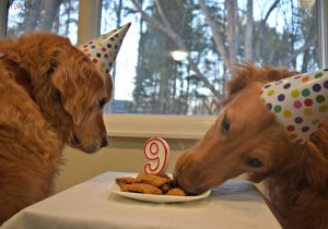MyDogLikes enjoys a delicious birthday dinner and dessert to celebrate Harley's 9th Birthday!S