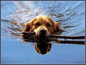 dog-swimming-stick