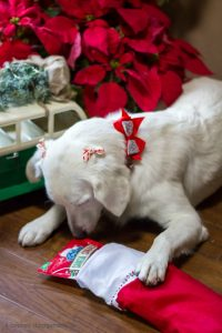 Luci got into her stocking early. Oops! filling-your-dogs-stocking-bestofblue-i-love-my-disorganized