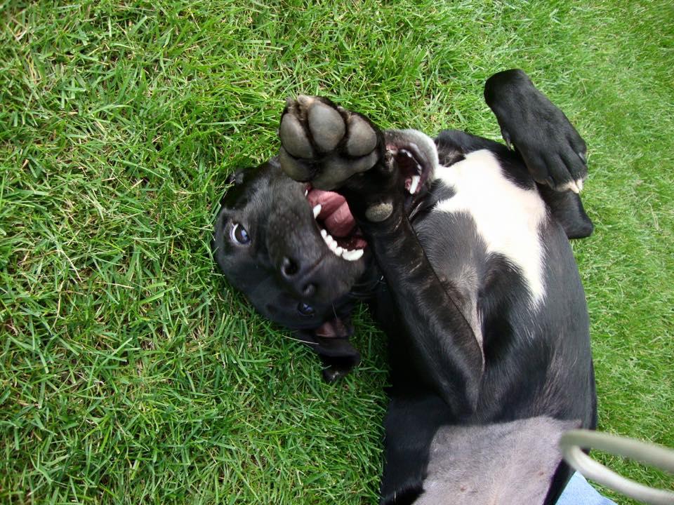 My goofy pit bull Mille File_000goofygoofy2sleeping2
