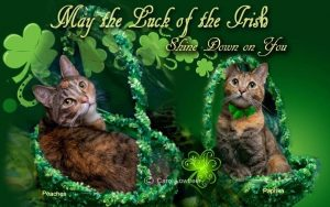 "Peaches and Paprika, calico kitties don green hats to celebrate the ""green day.""Happy St"