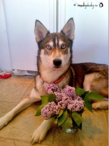 Lexus has become the lilac princess as she poses beautifully beside freshly picked lilacs.Siberian h