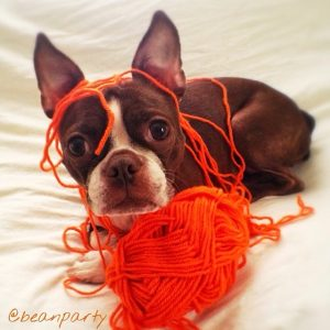 """Bean """"helping"""" with my knitting!bean classroom"""