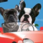 Profile picture of Andrea (Two French Bulldogs)
