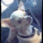 Profile picture of Larry the Chihuahua